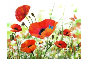Fototapeta - Country poppies